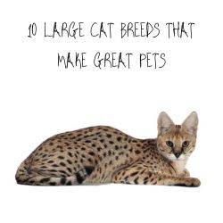 10 LARGE CAT BREEDS THAT MAKE GREAT PETS