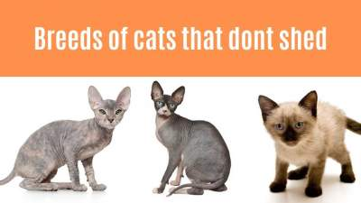 Breeds of cats that dont shed