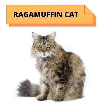 Ragamuffin  cat breed information