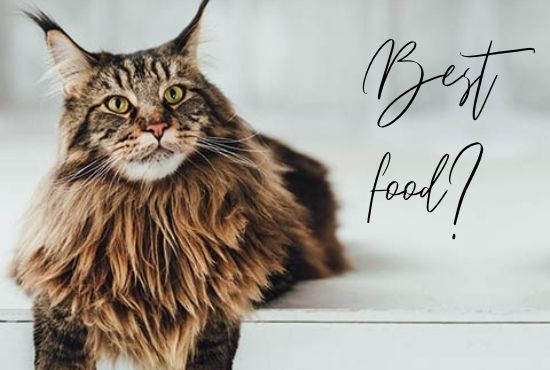 Best Food for Maine Coon Cats