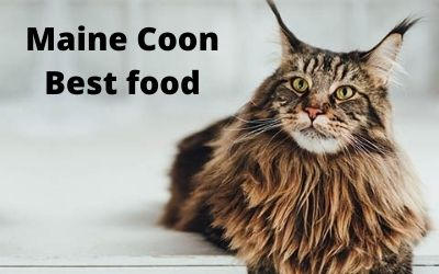 Maine Coon Best food