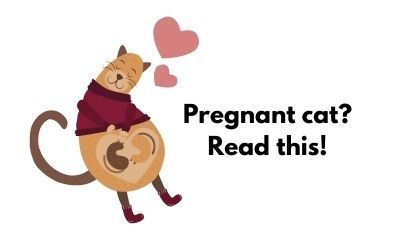 How should you care for your pregnant cat?
