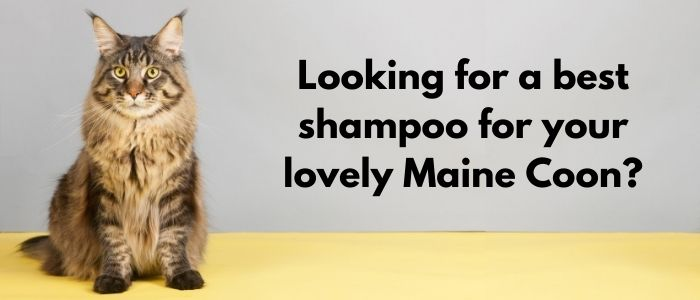 Best Shampoo for Maine Coon Cats
